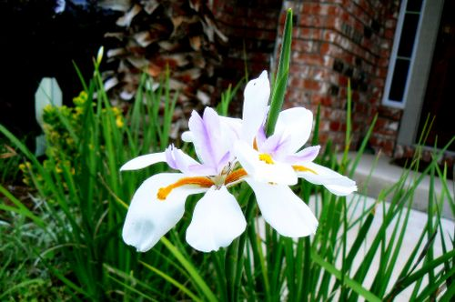 butterfly iris in bloom